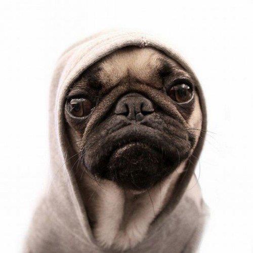 Pug in a hoodie